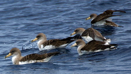 Cory's Shearwaters on the water